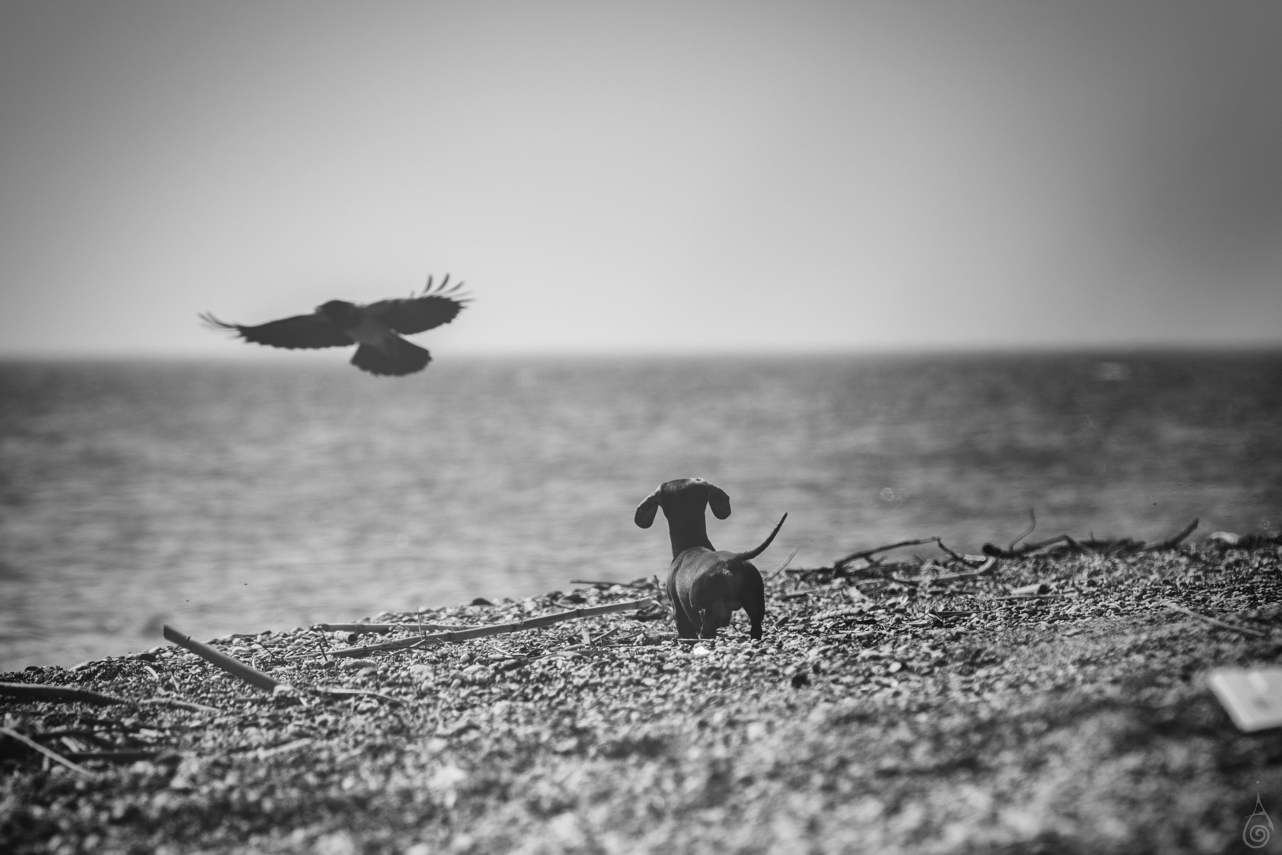 arti corvo